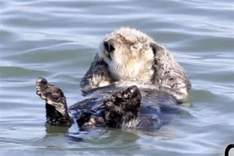 why do dogs lay on their back these otters floating on their backs and doing stuff daily distraction