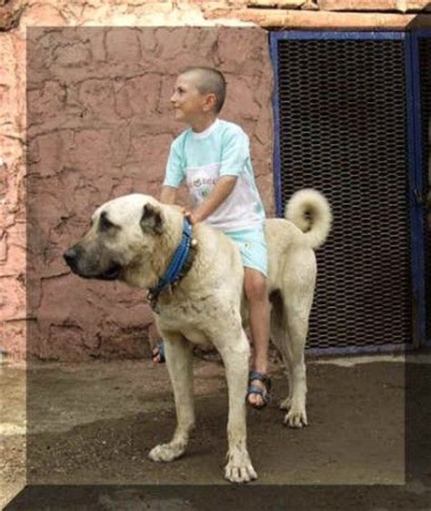 kangal dogs the world s catalog of ideas