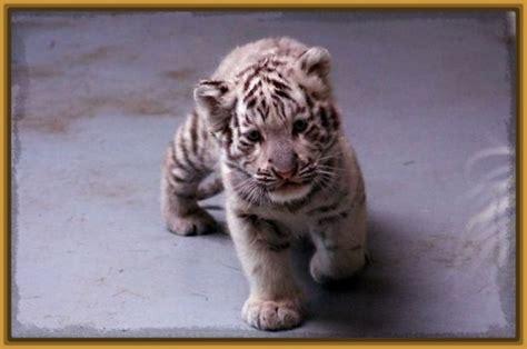 imagenes de tigres de bengala tigre de bengala bebe www pixshark com images