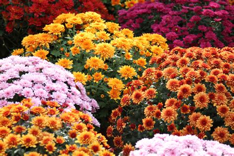 mums flower the meaning of the chrysanthemum flower eastern floral
