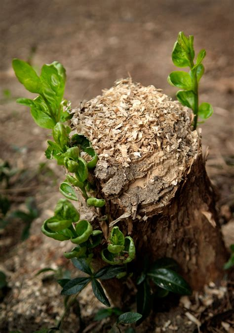tree stump stop tree stump sprouting getting rid of tree stumps and