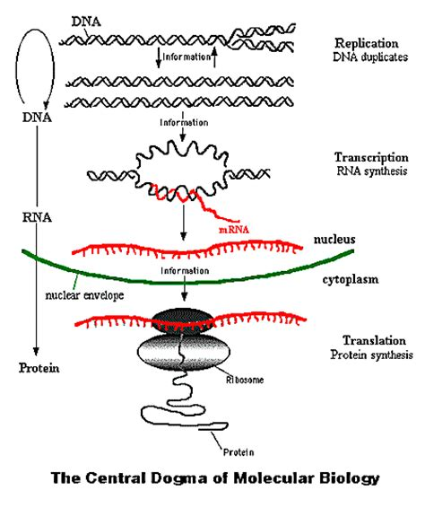 Molecular Biology Worksheet by Biomolecules Part 3 Biology 102 Course Carolguze