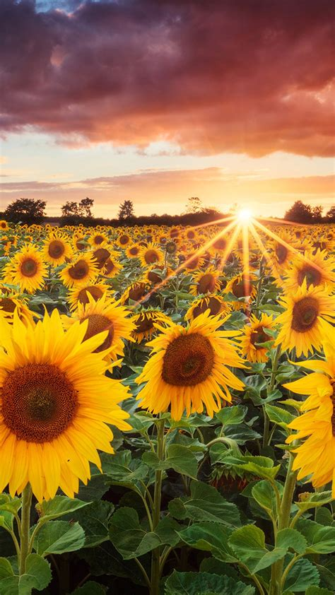 wallpaper for iphone sunflower sunflowers bavaria germany iphone 6 plus wallpaper
