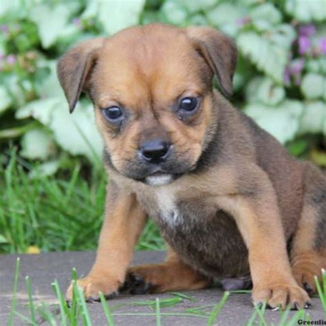 bulldog puppies for sale near me dachshund mix puppies for sale near me dogs in our photo