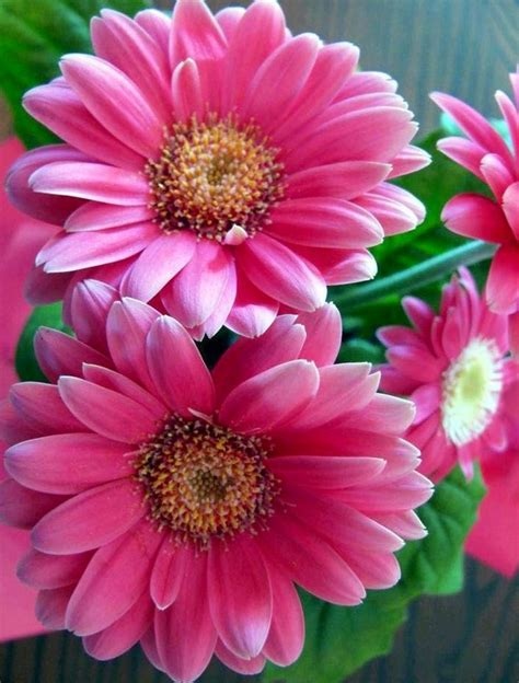 thinkin of home gerber daisy love 440 best gerber daisies images on pinterest flowers