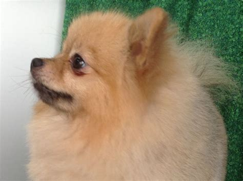 kennel club pomeranian breeders kennel club registered pomeranian stud services bradford west pets4homes