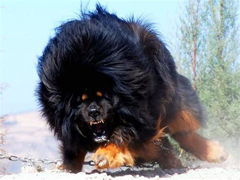 Angry Barking Tibetan Mastiff Dog