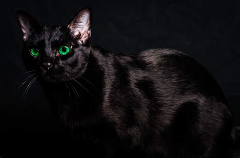 imagenes en negro de gatos gato negro