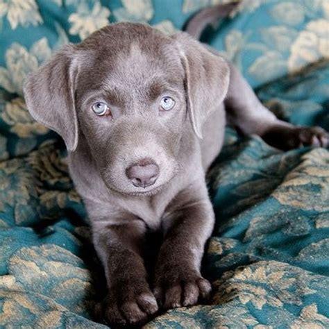 weim puppies image gallery weim puppies