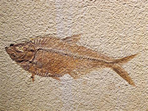 imagenes de fosiles f 243 siles galer 237 a