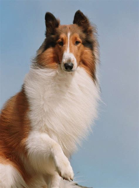 what of is lassie lassie the dreamworks animation wiki fandom powered by wikia