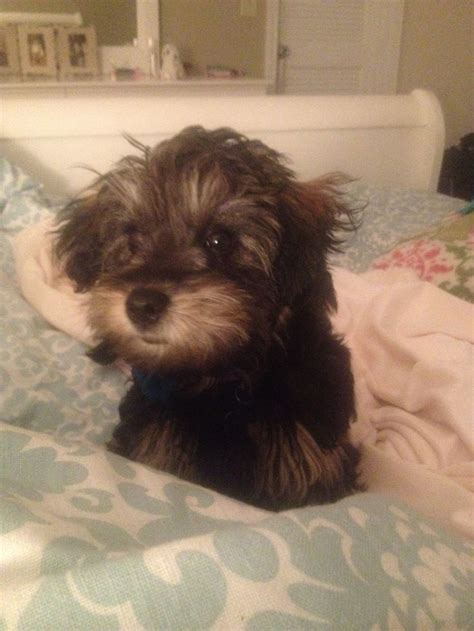 best food for yorkie poo best 25 yorkie poo puppies ideas on yorki poo yorkie poodle and black