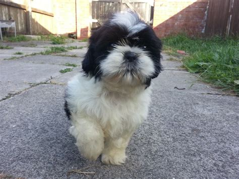 large shih tzu 6 shih tzu puppies liverpool merseyside pets4homes