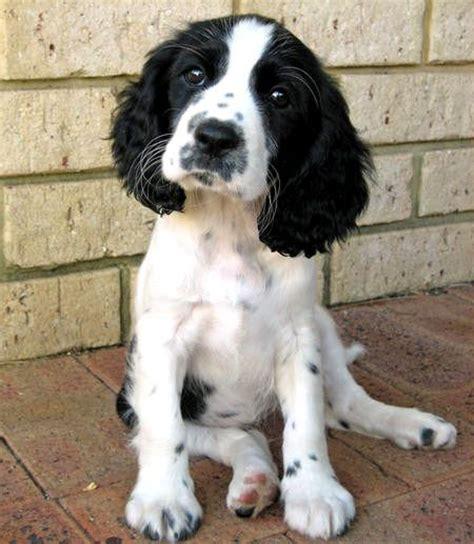 pug springer spaniel cross 17 migliori idee su incrocio di beagle su cuccioli australiani cuccioli e