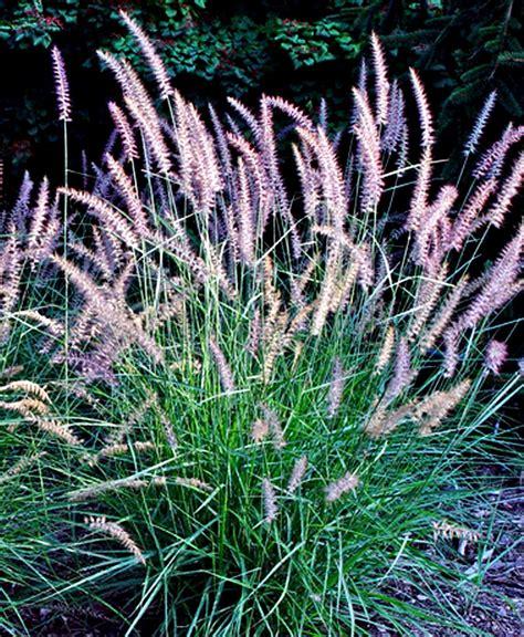 vikkivinespurple fountain grass pennisetum setaceum