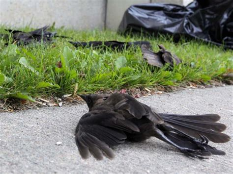 film vögel fallen vom himmel v 246 gel fallen tot vom himmel und fische verenden r 228 tselhaft