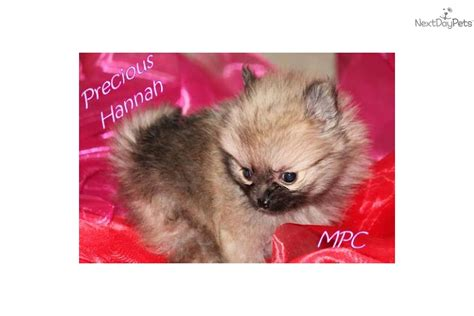 micro teacup pomeranian puppies for sale in mississippi pomeranian puppy for sale near jackson mississippi 48141ce9 69f1