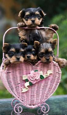 housebreaking a yorkie housebreaking a yorkie pup photo