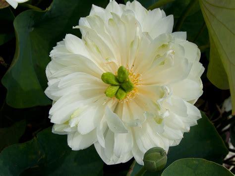 fiori di loto gallery nelumbo sweetheart liliumaquae it