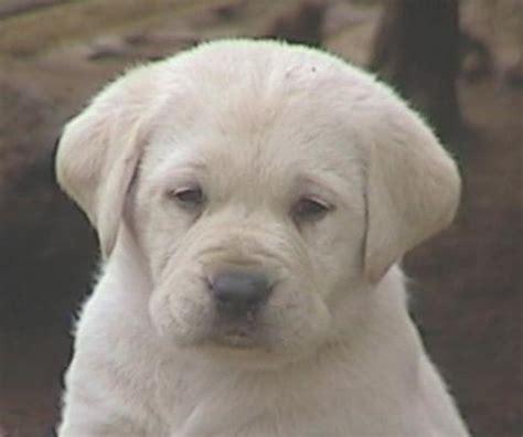 labrador puppies california labrador retriever puppies for sale in ca ruff labradors