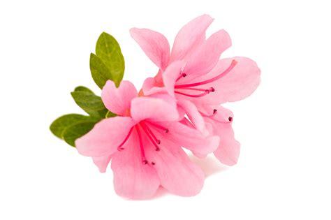 fall blooming flowers fall blooming flowers reblooming azaleas extension daily