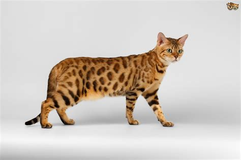 cat and breed bengal cat breed information buying advice photos and facts pets4homes