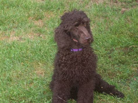 adoption illinois standard poodle dogs for adoption breeds picture