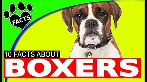 dogs 101 boxer dogs 101 boxer facts most popular german breeds animal facts
