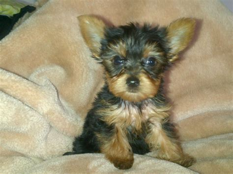best haircut for a chorkie chorkies for sale 250 posted 1 year ago for sale dogs
