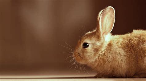 cute bunny hd wallpaper wallpupcom