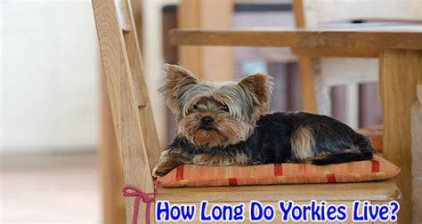 how do you a yorkie how do yorkies terriers usually live by dogmal