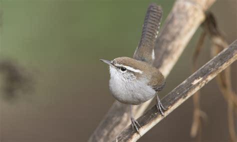 bewick s wren birds of north america online