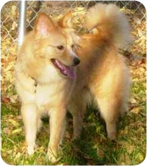 golden retriever puppies adoption mn foxy adopted osseo mn american eskimo golden retriever mix
