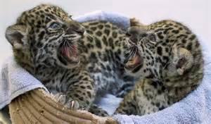 Ta Jaguar Fotos De Jaguares Beb 233 S Imagui