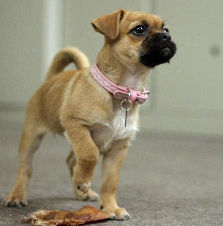 pug collie mix pug boxer mix