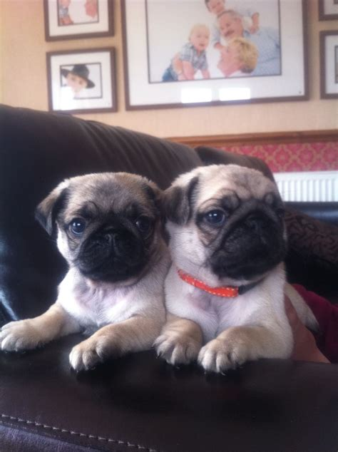 pug show stunning show quality pug puppies southport merseyside pets4homes