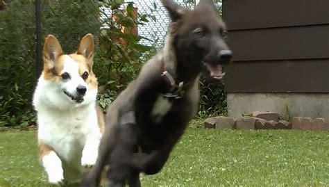 wolf corgi puppy corgi puppy plays with wolf puppy boing boing