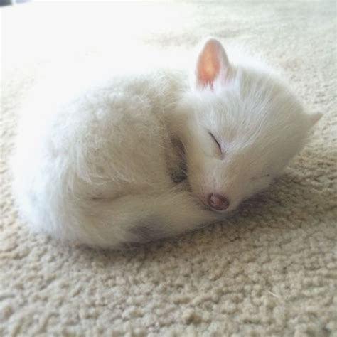 how cute pet foxes steal your heart rylai the baby fox takes the by