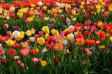 explosion  colorful tulips whats   love