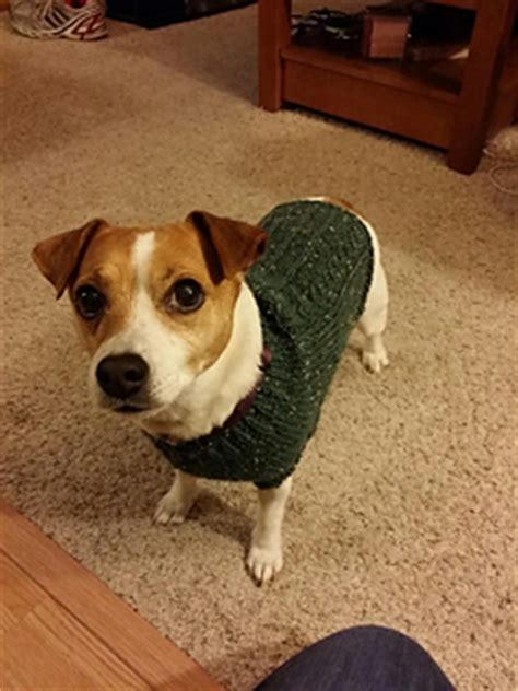 knitting pattern dog coat jack russell ravelry mock cable jack russell sweater pattern by linda