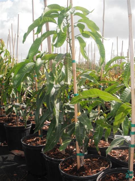 tree for sale alphonso mango trees for sale in usa