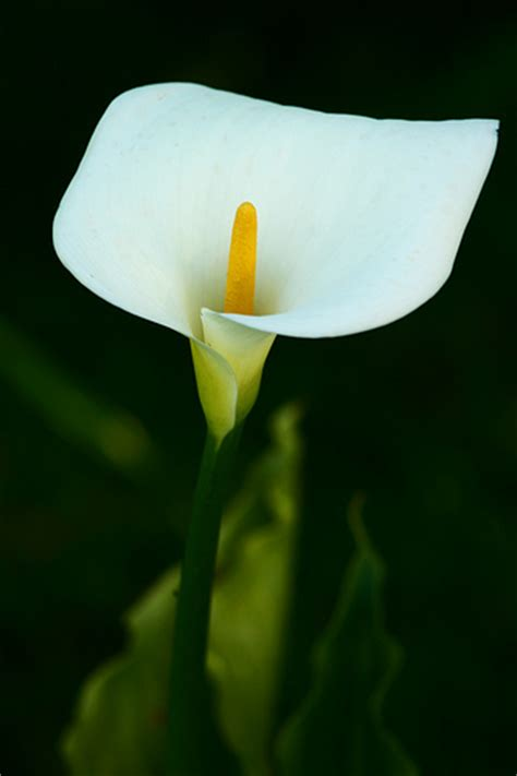 calla flowers calla lily flowers