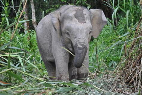 Borneo Pygmy Elephant - Facts, Pictures, Behavior ...