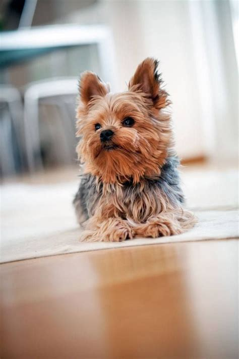 names for boy yorkies 15 must see terrier haircut pins yorkie haircuts yorkie and grooming