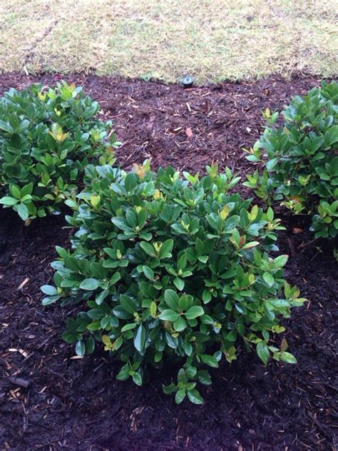 Pictures Of Evergreen Shrubs