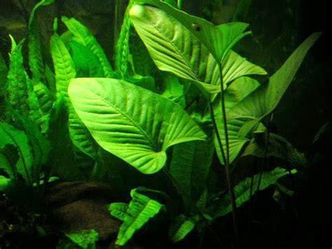 Jual Lu Untuk Aquascape jual tanaman anubias untuk aquascape murah april 2016