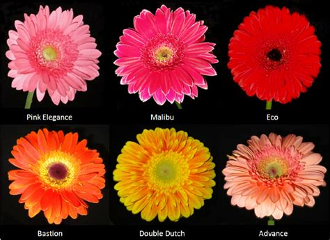 gerbera colors flower varieties of gerbera with different colors