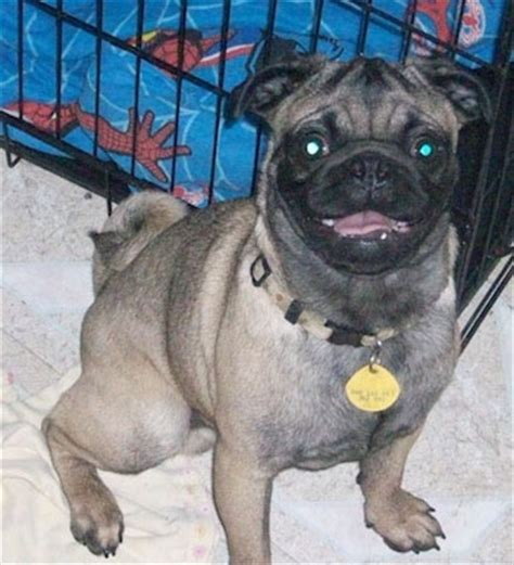 how much is a purebred pug pug breed information and pictures