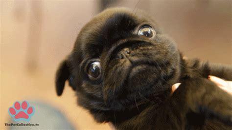 que son imagenes jpg y gif fotos que demuestran que los pug son los perros m 225 s miedosos