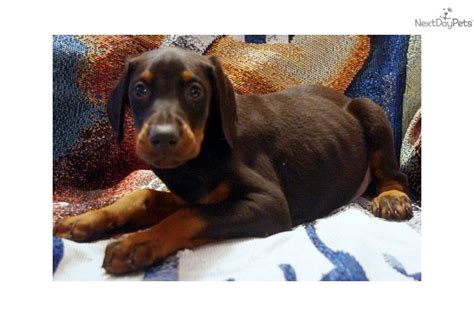 doberman puppies near me doberman pinscher puppy for sale near toledo ohio 56096a78 c311